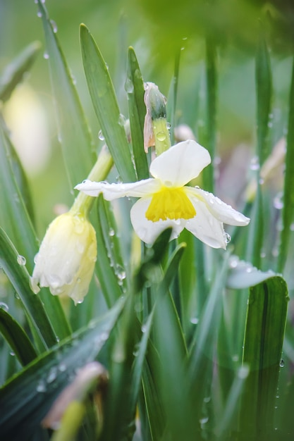 Blühender selektiver fokus der narzisse. flora und fauna. Premium Fotos
