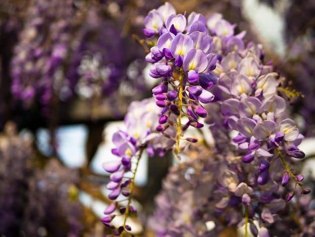 Blühendes glyzinieveilchen im freien. purpurrote blumen der glyzinie sinensis auf einem natürlichen hintergrund. Premium Fotos