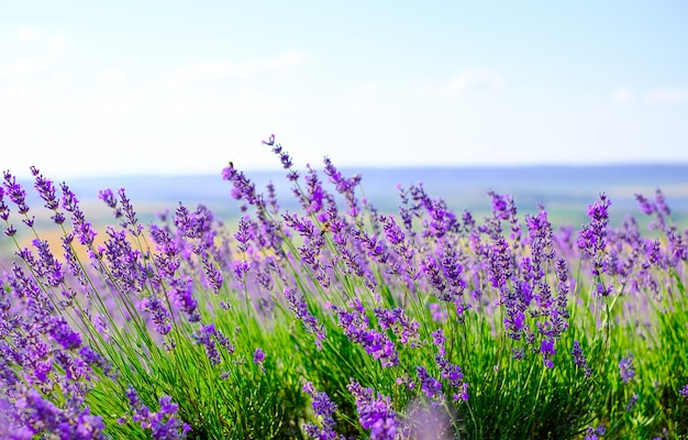 Blühendes lavendelfeld bei sonnigem wetter im sommer. Premium Fotos