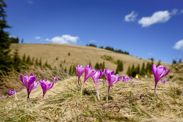 Blüte der krokusse im frühjahr in den alpenbergen Premium Fotos