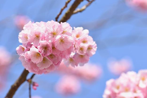 Blütenbaum. naturhintergrund am sonnigen tag. frühlingsblumen. schöner obstgarten und zusammenfassung verwischt Kostenlose Fotos