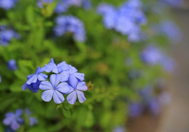 Blume des nahaufnahmekap leadwort (plumbago auriculata) im garten. selektiver fokus Premium Fotos