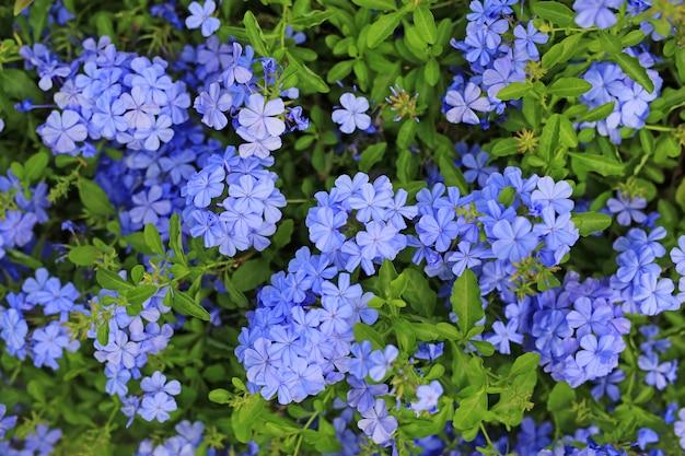 Blume des nahaufnahmekap leadwort (plumbago auriculata) im garten. Premium Fotos