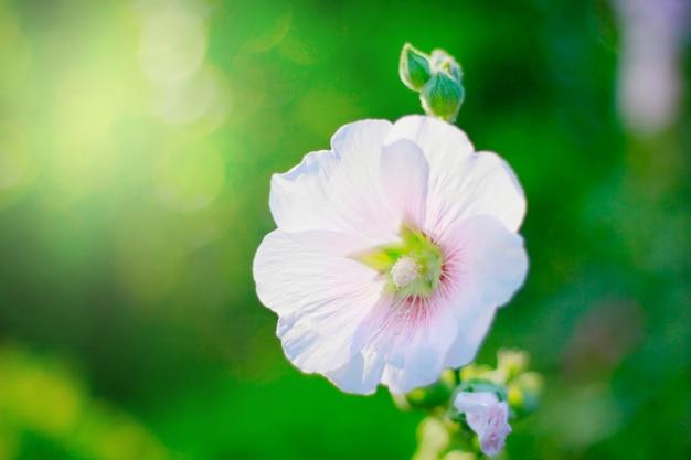 Blume, die im garten mit sonne und bokeh wächst Premium Fotos