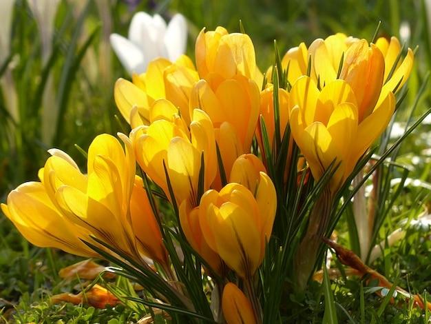 Blume pflanze blühen krokusse natur Kostenlose Fotos