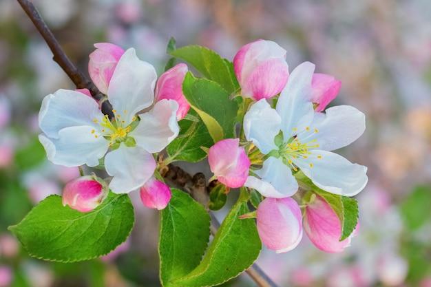 Blumen und apfelknospen verschwommen bei sonnigem wetter Premium Fotos