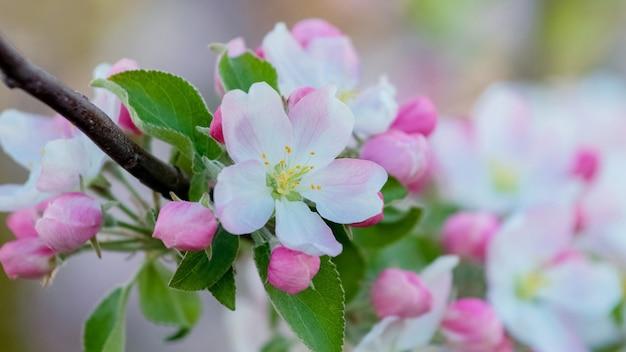 Blumen und knospen von apfelbäumen auf einem ast schließen nah Premium Fotos