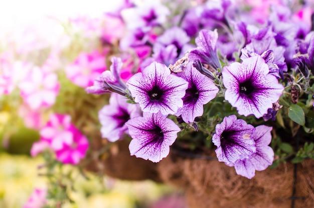 Blumenbeet mit lila petunien im topf Premium Fotos