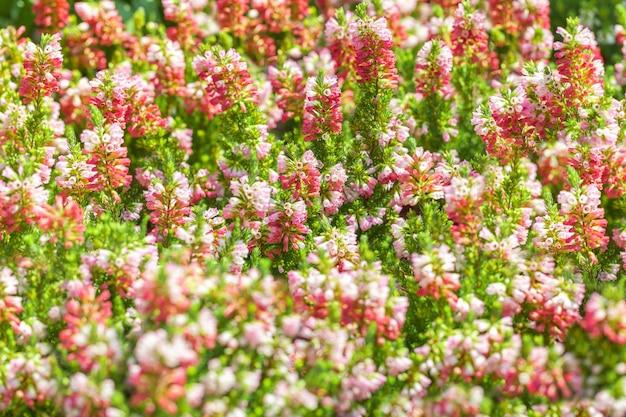Blumenhintergrund der rosa und purpurroten farbe der kleinen blühenden glocken. Premium Fotos