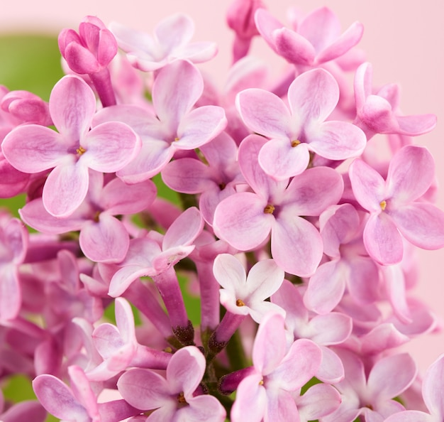 Blumenstrauß von rosa flieder auf einem rosa hintergrund Premium Fotos