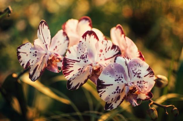 Blumenweiß mit lila phalaenopsis mit einer roten orchideenmotte orchideenblüten blühen in einem gewächshaus im frühjahr. grüne orchideenblätter. gartenkonzept. Premium Fotos