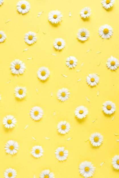 Blumenzusammensetzung. kamillenblüten auf pastellblau Premium Fotos