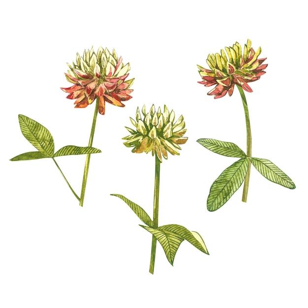 Botanische zeichnung des aquarells des wiesenrosaklees. kleeillustration lokalisiert Premium Fotos