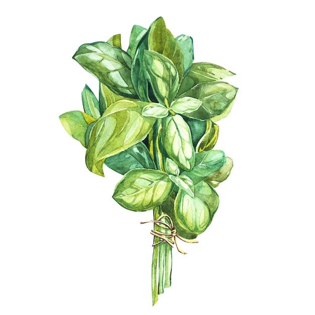 Botanische zeichnung eines basilikumlaubers. schöne illustration des aquarells von den küchenkräutern benutzt für das kochen und schmücken Premium Fotos