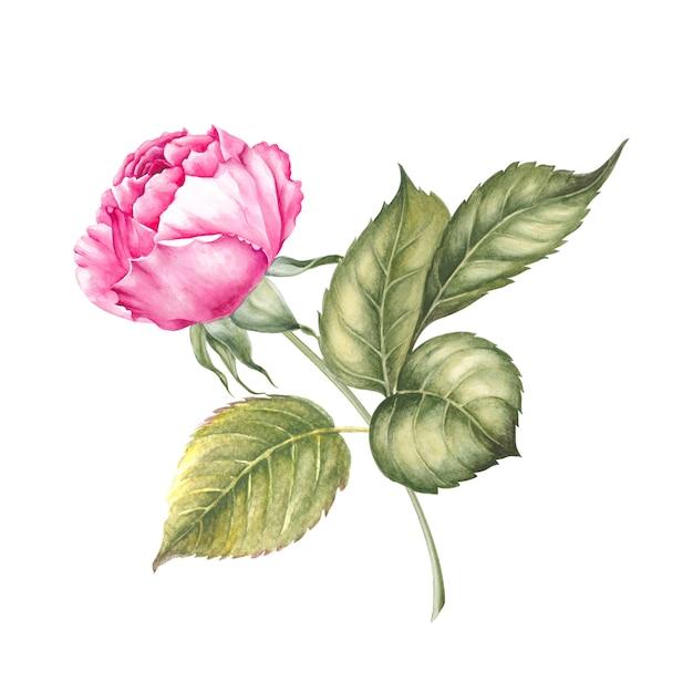 Botanisches aquarell auf weiß Premium Fotos