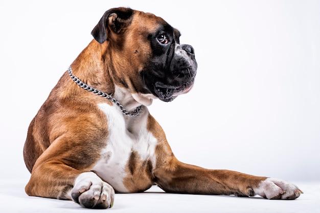 Boxerhund mit andeutendem blick auf weißem hintergrund Premium Fotos
