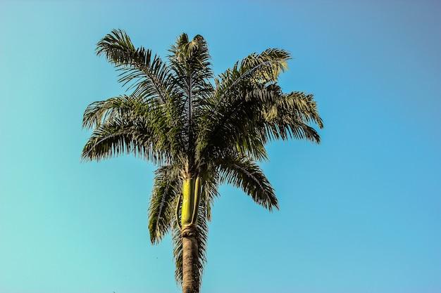 Brasilianische palme Premium Fotos