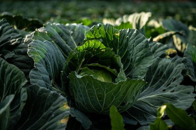 Brassica oleracea Premium Fotos