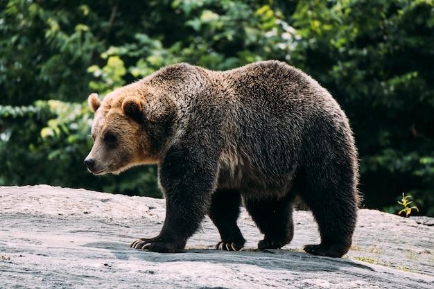 Braunbär im bronx zoo. new york Premium Fotos