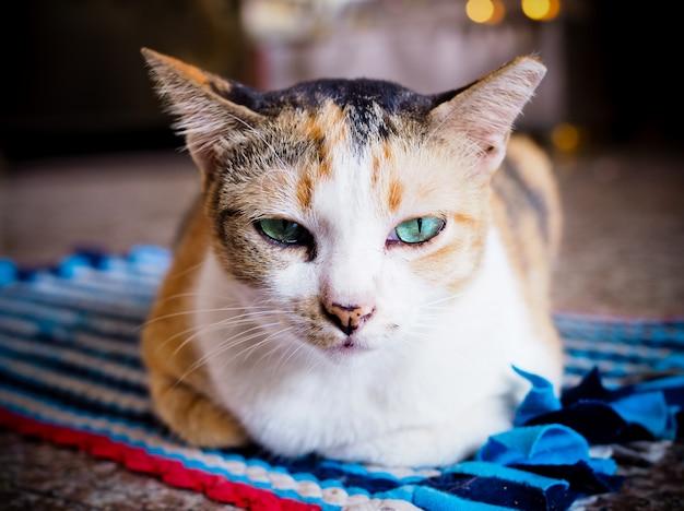 Braune katze, die mit blauen augen anstarrt. Premium Fotos