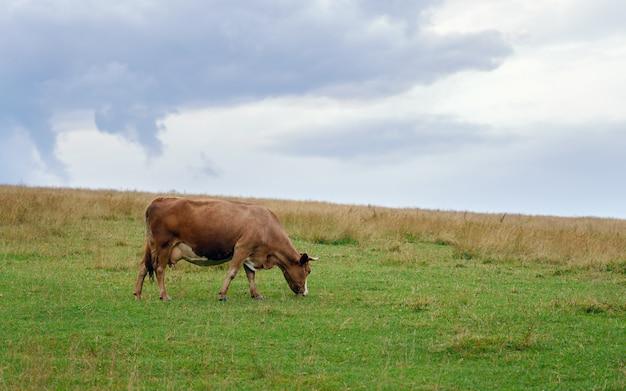 Braune kuh, die gras auf dem feld isst Premium Fotos