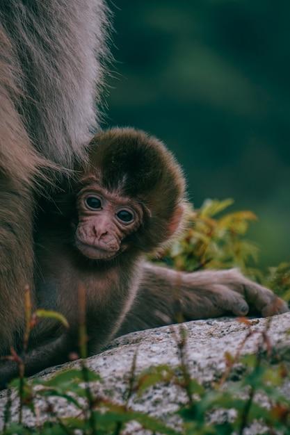 Brauner baby-japanischer makaken auf einem stein, umgeben von grün Kostenlose Fotos