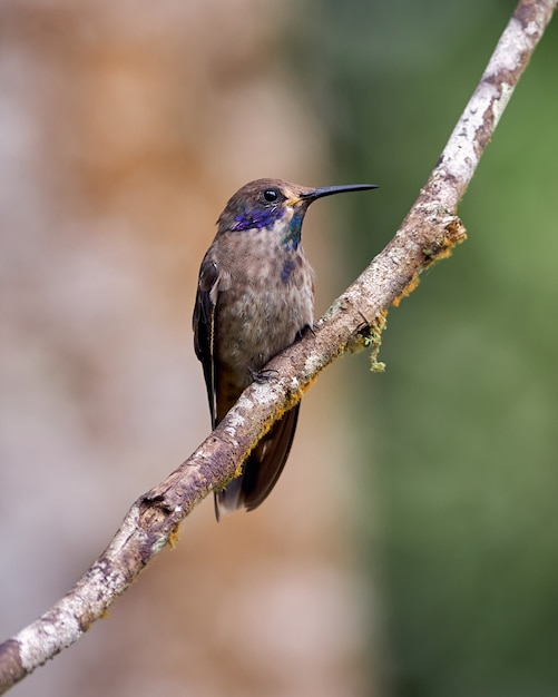 Brauner kolibri, der auf einem horizontalen zweig aufwirft Premium Fotos
