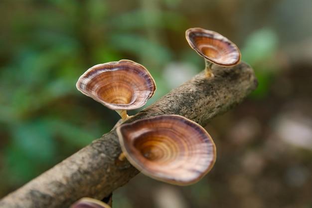 Brauner pilz microporus xanthopus auf ast Premium Fotos