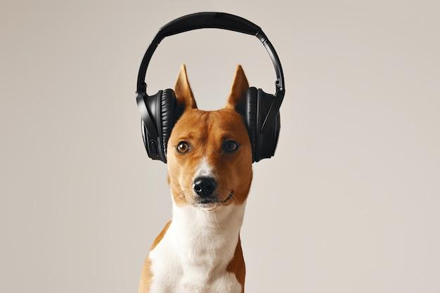 Brauner und weißer basenji-hund mit weit geöffneten augen, die großes schwarzes drahtloses headset tragen, nahaufnahme schuss lokalisiert auf weiß Kostenlose Fotos