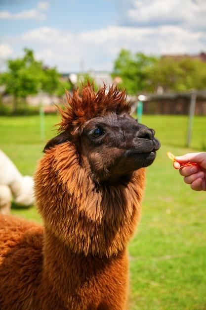 Braunes alpaka, das karotte von der hand des mannes isst Premium Fotos