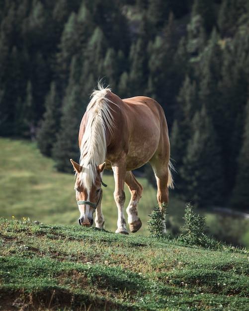 Braunes pferd mit weißer mähne, die gras auf einem hügel mit kiefern auf dem hintergrund isst Kostenlose Fotos