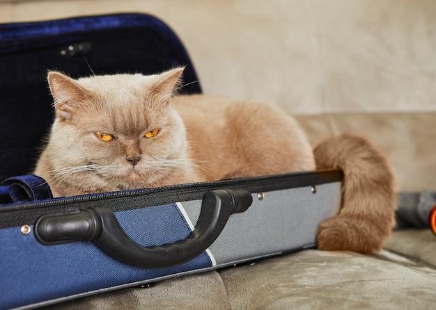 Britische graue katze sitzt in einem fall für geige, platz für text Premium Fotos