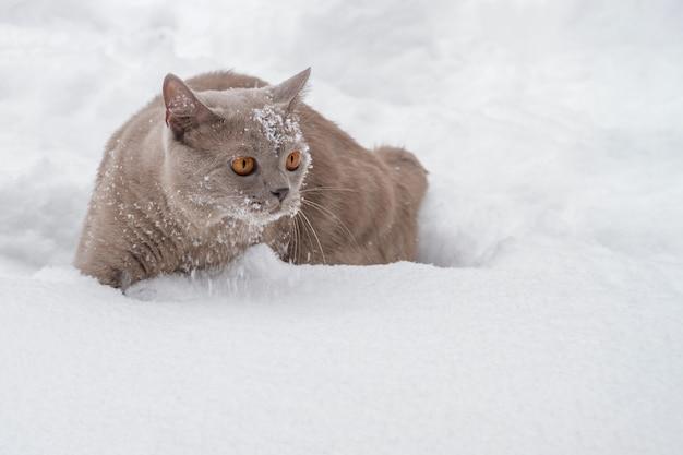 Britische katze mit großen gelben augen im winterschnee. nahaufnahme, vorgewählter fokus Premium Fotos