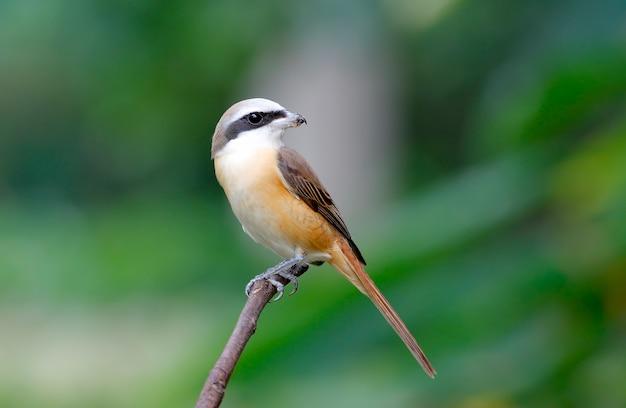 Brown shrike lanius cristatus schöne vögel von thailand hockend auf dem baum Premium Fotos