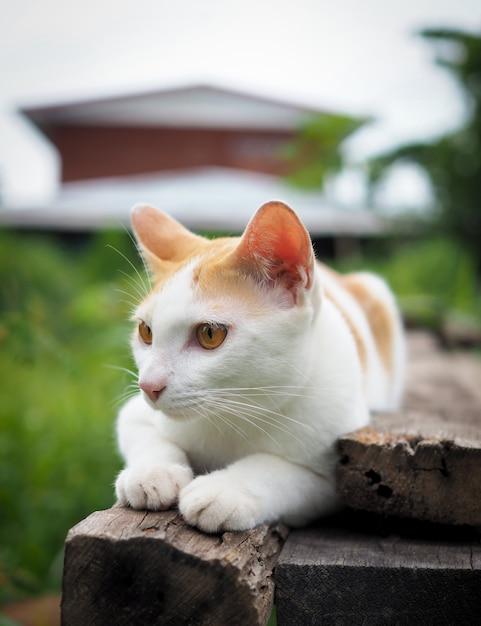 Brown und weiße katze thailändisch auf altem hölzernem im garten Premium Fotos