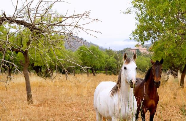 Brown und weiße pferde auf dem mallorca-mittelmeergebiet Premium Fotos