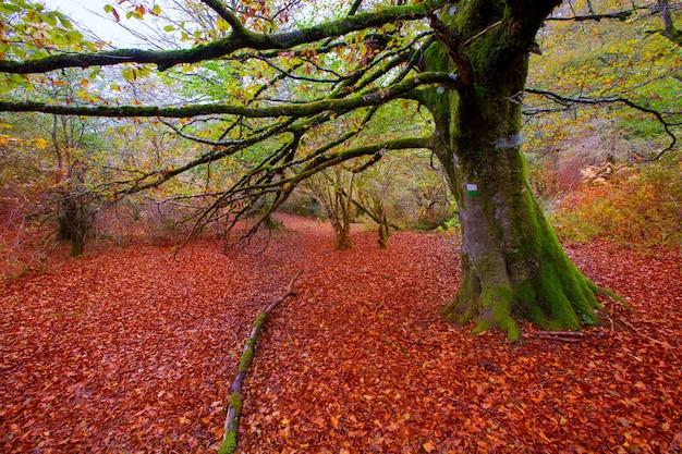 Buchen-dschungel autumn selva de irati in navarra pyrenees spain Premium Fotos