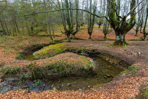 Buchenwald otzarreta. gorbea naturpark. spanien. Premium Fotos