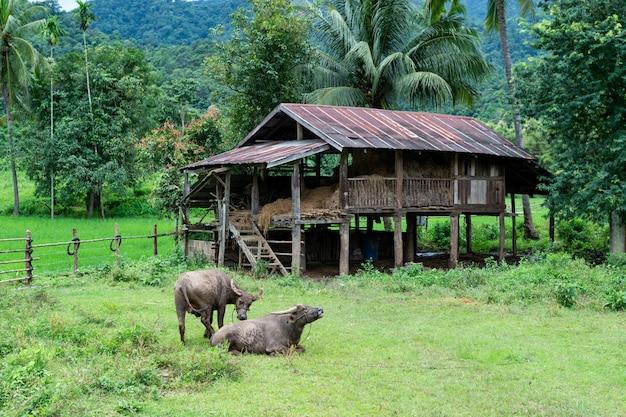 Büffel und hütte in mae hong son provinz thailand Premium Fotos