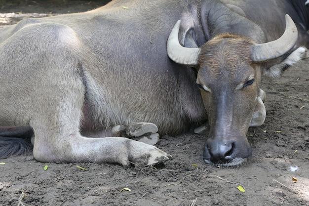 Büffel, wasserbüffel Premium Fotos