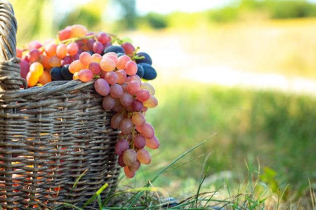 Bündel rote trauben, die vom alten weidenkorb hängen. erntebeeren gegen grünes gras bei sonnenuntergang. Premium Fotos