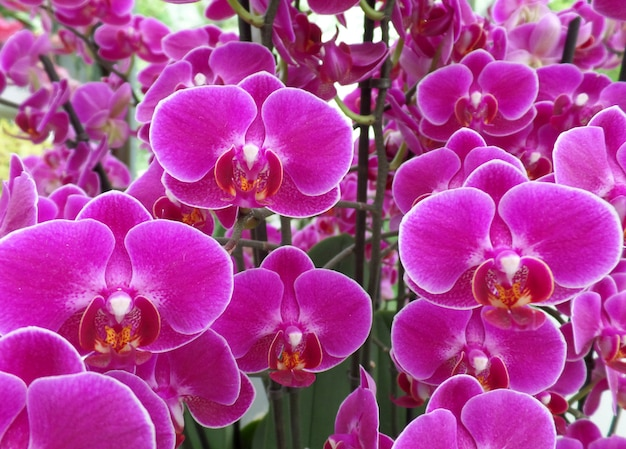 Bündel schockierende rosa farbe blühende orchidee blüht, für hintergrund Premium Fotos