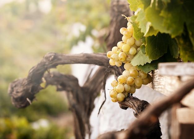 Bündel weiße trauben im weinberg Premium Fotos
