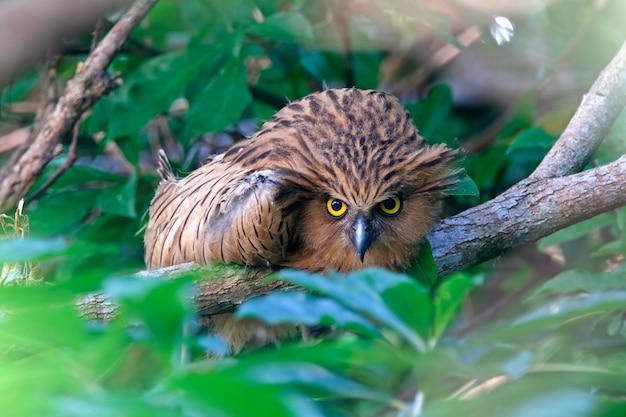 Buffy fish-eule ketupa ketupu beautiful birds stare Premium Fotos