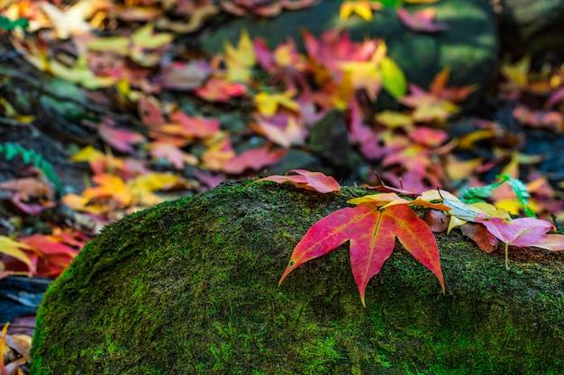 Bunt von den ahornblättern auf den grünen felsen in der herbstsaison im phu-luang-naturschutzgebiet, thailand. Premium Fotos