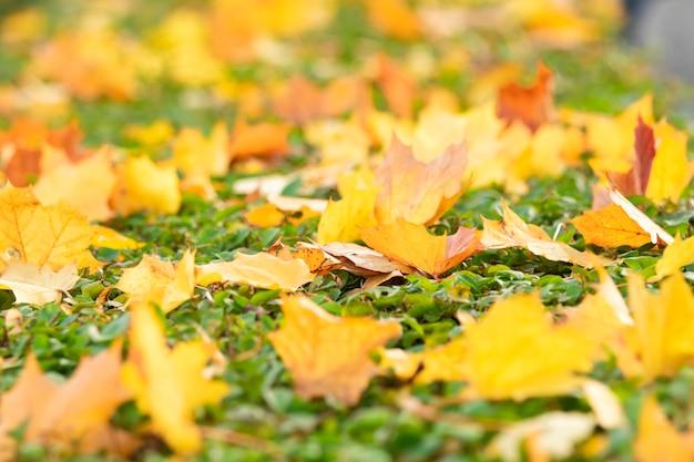 Bunte ahornblätter fallen in der herbstsaison auf den fußweg Premium Fotos