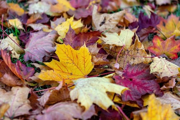 Bunte gefallene blätter, die aus den grund im park, hintergrund des schönen herbstes im freien, selektiver fokus liegen Premium Fotos
