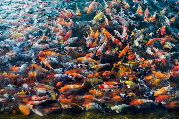 Bunte karpfenfischschwimmen im teich Premium Fotos