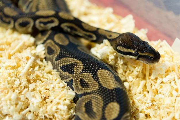 Bunte pythonschlange der nahaufnahme nachts, weichzeichnung, selektiver fokus Premium Fotos