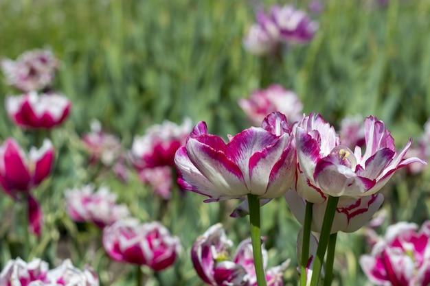 Bunte tulpe blüht auf einem blumenbeet im stadtpark. Premium Fotos